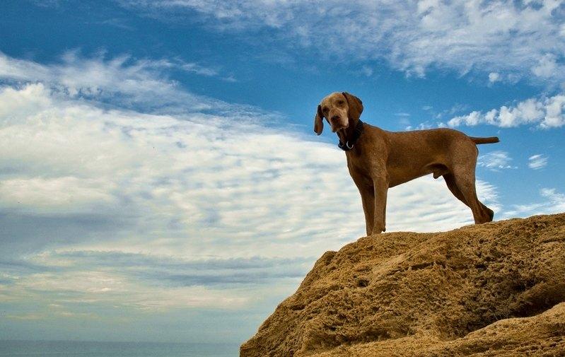 Photographies magyar vizsla photos de braques hongrois poil court et poil dur chiens - Braque hongrois a poil court ...